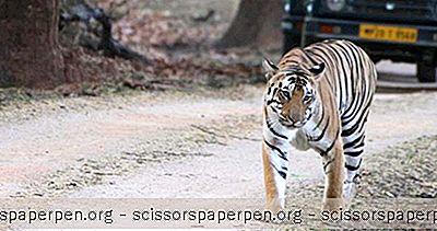Авантура - Ствари Које Треба Урадити У Индији: Резерват Канха Тигер