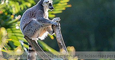 การผจญภัย - มาดากัสการ์สิ่งที่ต้องทำ: สวน Lemurs