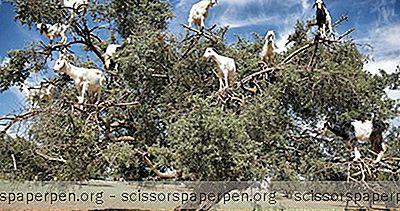 Sehenswürdigkeiten - Ziegen In Bäumen: Die Baumkletterziegen Von Marokko