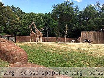 Θελγήτρα - Ζωολογικός Κήπος Του Σαιντ Λούις Στο Σεντ Λούις, Μιζούρι