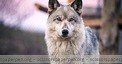 Choses À Faire En Californie: California Wolf Center