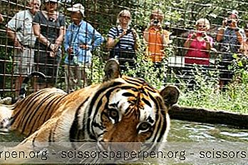 Beste Daguitstapideeën: Big Cat Rescue In Tampa, Florida
