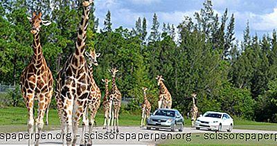Najlepsze Rzeczy Do Zrobienia Na Florydzie: Lion Country Safari