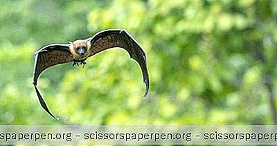 Gainesville, Fl Stvari Koje Treba Učiniti: Očuvanje Lubee Bat-A