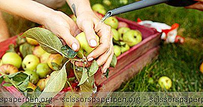4 Meilleurs Spots De Cueillette De Pommes Dans L'Illinois