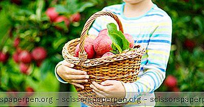 Cueillette De Pommes À Rochester Ny