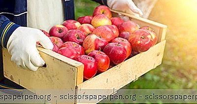 Cueillette De Pommes Près De Columbus, Ohio