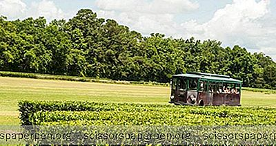 Choses À Faire En Caroline Du Sud: Charleston Tea Plantation