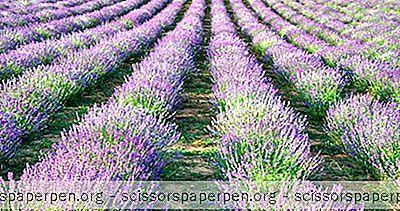 Washington Štát, Čo Robiť: Pelindaba Lavender Farm